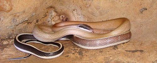 Cave snake - Ridleys Racer - Othriophis taeniurus ridleyi - Thailand