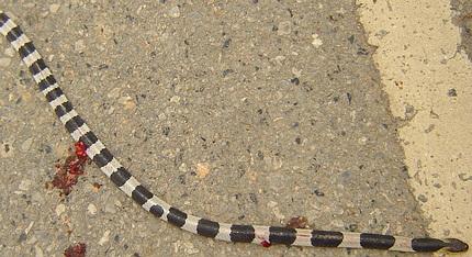 Exceptionally venomous neurotoxic venomous snake in Thailand.