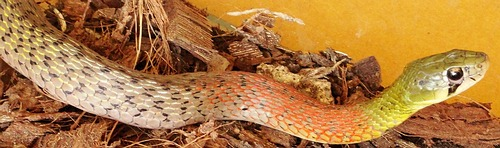 Red Necked Keelback Snake, venomous, Thailand and southeast Asia.