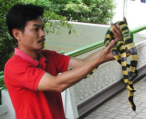 Banded Krait Snake at Bangkok, Thailand Snake Farm