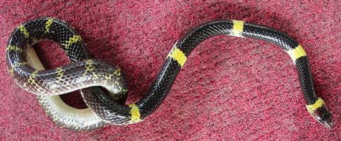Laotian Wolf Snake (Lycodon Laoensis) Native to Thailand