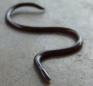 Non venomous, burrowing snake native to southeast asia. Brahminy Blind snake is parthenogetic - can spawn young without males.
