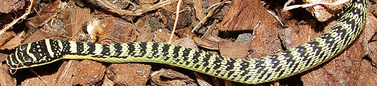 Golden Tree Snake - Chrysopelea ornata ornatissima - Southern Thailand