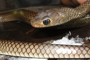 Indochinese rat snakes are silver, black, grey, brown, or orange in color.