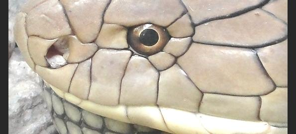 King Cobra - Worst Snake to be Bitten By in Thailand. Death can occur in 10 minutes.