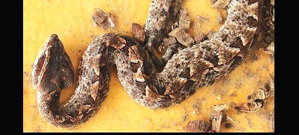 Brown Malayan Pit Viper in Thailand. These are deadly snakes if you don't get immediate treatment.