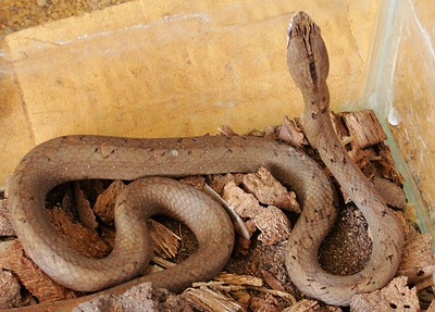 Mock Viper top and head, Thailand venomous snake