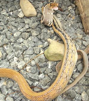 Radiated Rat Snake - Copperhead Racer