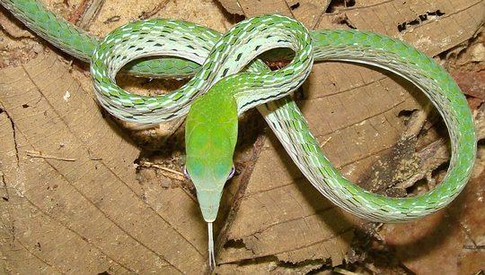 Oriental Whip Snake, Ahaetulla prasina, from Thailand