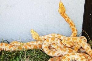 Molur bivittatus, (Thailand Gold Python) a very rare snake bred in captivity in Nakhon si Thammarat