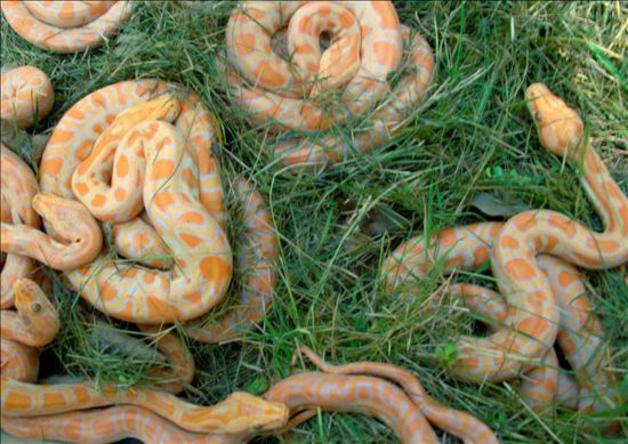 Litter of Rare Thailand Snakes - Python molur-bivittatus