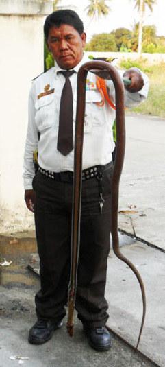 Big Rat Snake Killed in Nonthaburi