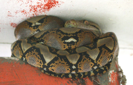 Reticulated Python perched above door in Phuket