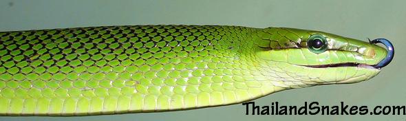 Bright Green Gonyosoma oxycephalum - Red Tailed Racer (Rat Snake) from Southern Thailand