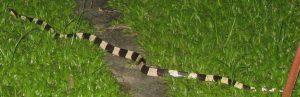 Banded Krait (Bungarus fasciatus) from Borneo, Malaysia.