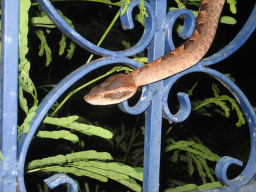 Malayan Pit Viper in Thailand climbing blue fence.