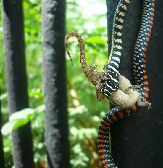Singapore Paradise Tree Snake eating Gecko