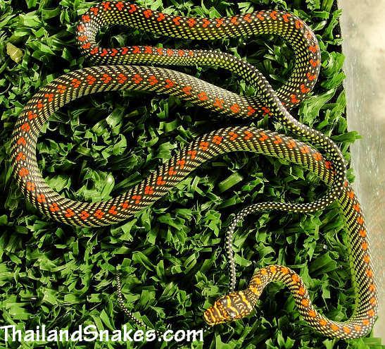 Full body of Paradise Tree Snake (Chrysopelea paradisi) from Krabi, Thailand