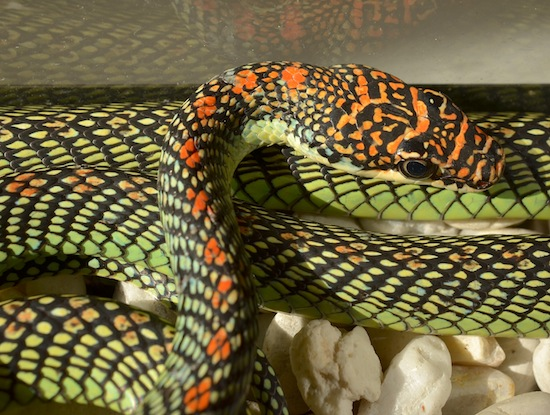 Chrysopelea paradisi - the Flying Snake