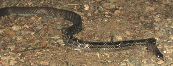 Malayan Racer - Coloegnathus flavolineatus, in southern Thailand