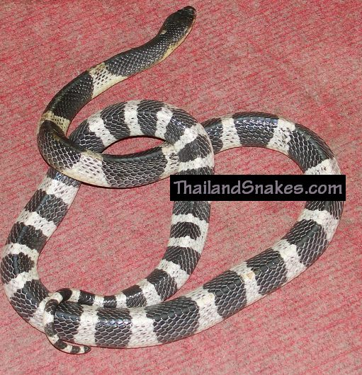 The Malayan Krait, also called Blue Krait, is a deadly Thailand snake with highly toxic venom.