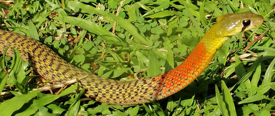 Rhabdophis subminiatus, Red-necked keelback snake from southern Thailand. Deadly and dangerous.