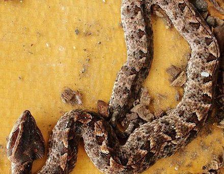 Calloselasma rhodostema, Malayan Pit Viper. Deadly venomous snake from Thailand.