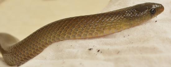 Oligodon snake from Thailand - olive color.