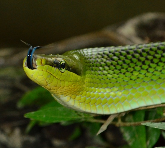 Gonyosoma oxycephalum, the red-tailed racer is a common Thailand rat snake which forages on the ground and primarily in the trees and bushes for birds and eggs.