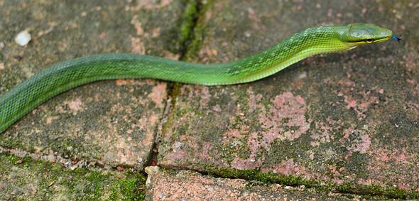 Thailand Snake - Red Tailed Racer, Gonyosoma oxycephalum