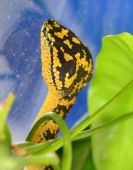 Trimeresurus wagleri, Wagler's pit viper from southern Thailand.