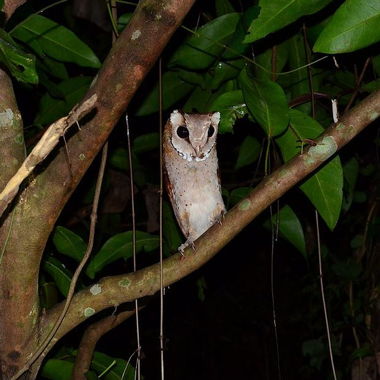 Thailand Bay Owl perched in a tree at night in a tree in Krabi Province, Thailand.