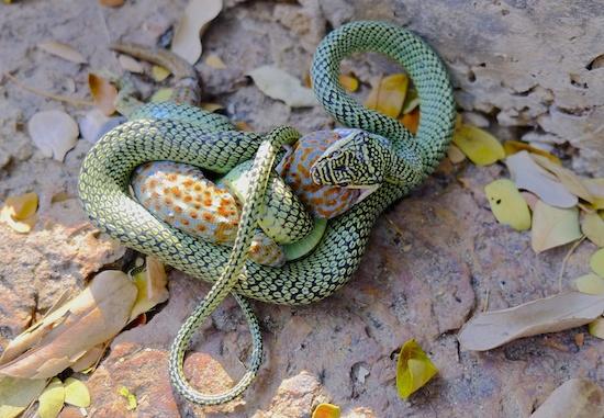 Golden tree snake (Chrysopelea ornata) eating tokay gecko