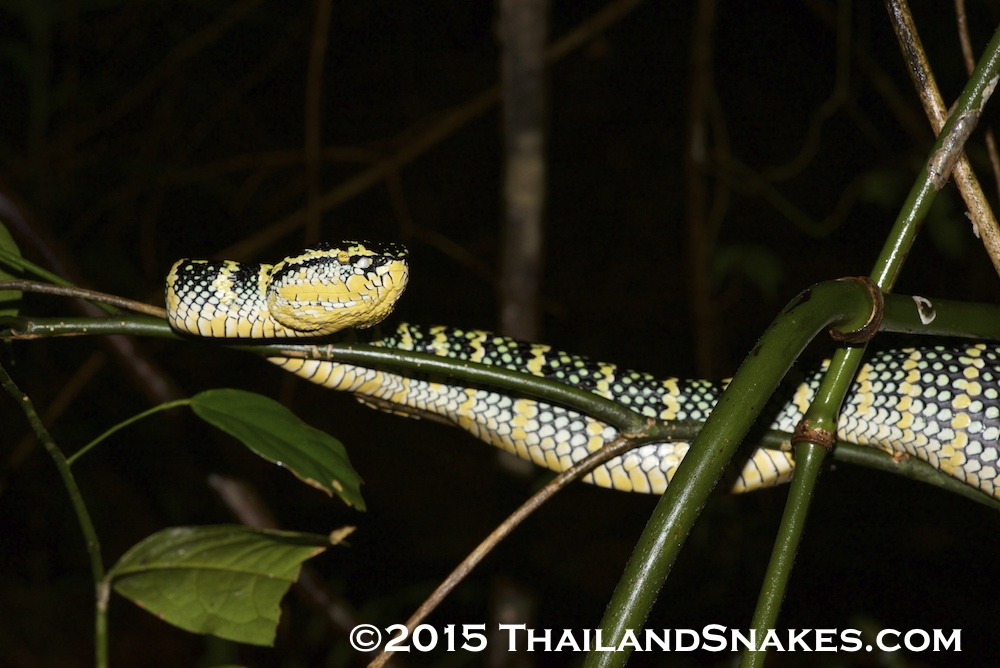This is a brightly colored Tropidolaemus wagerli (Wagler's pit viper) which is gravid and ready to have young. It is located in a tropical rainforest in Southern Thailand.