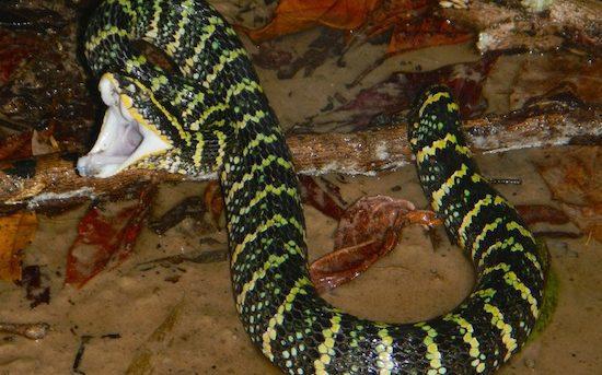 Venomous Wagler's pit viper striking in the rainforest.