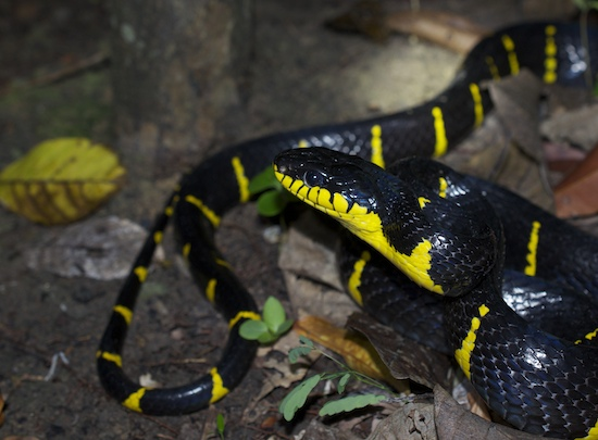 Mangrove cat snake at night in situ, secondary tropical rainforest in Southern Thailand's Krabi province.
