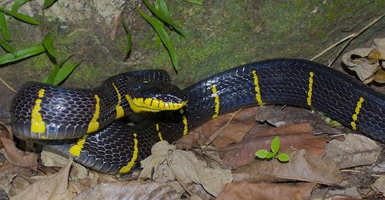Krabi rainforest mangrove cat snake (Boiga dendrophila)