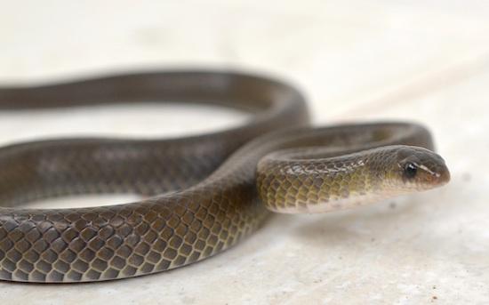 New Oligodon Snake Discovery