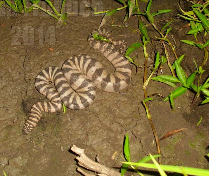 Achrochordus granulatus - Marine File Snake Full Body Photo