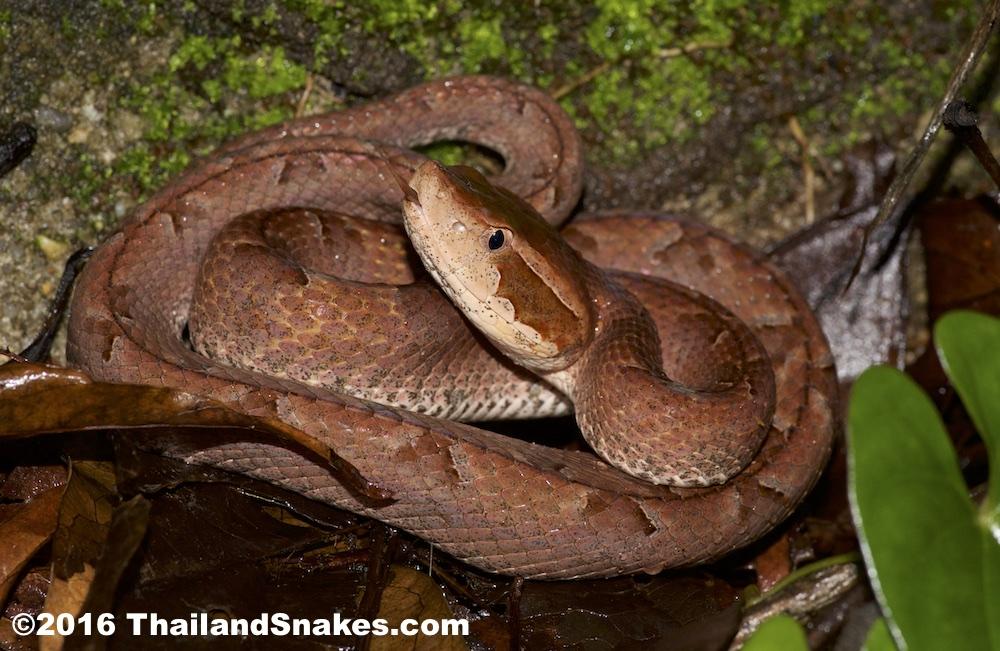 Adult Malayan Pit Viper in situ, found in a culvert in Krabi, Thailand.