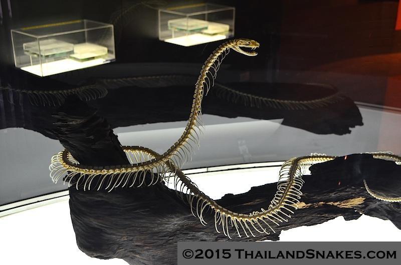 King cobra full skeleton from Thailand. Ophiophagus hannah.
