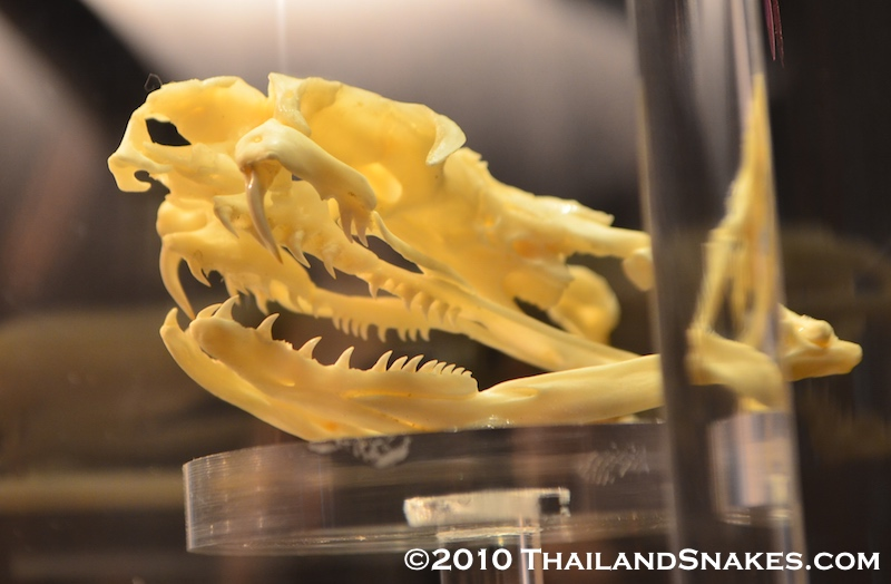 King cobra skull showing large teeth and thick, rather short fangs for injecting venom during envenomation.