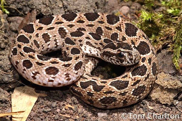 """The Russel's viper, or """"Chain viper"""" from central Thailand. Venomous, deadly, and shrinks your testicles."""
