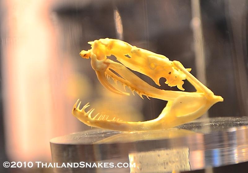Skull of white-lipped pit viper snake from Thailand. Trimeresurus albolabris.