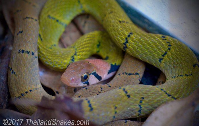 Green keelback snake (Rhabdophis nigrocinctus), a potentially dangerous snake.