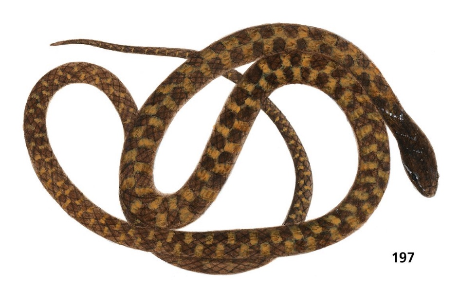 G. baliodeirum - error in Thailand reptiles field book