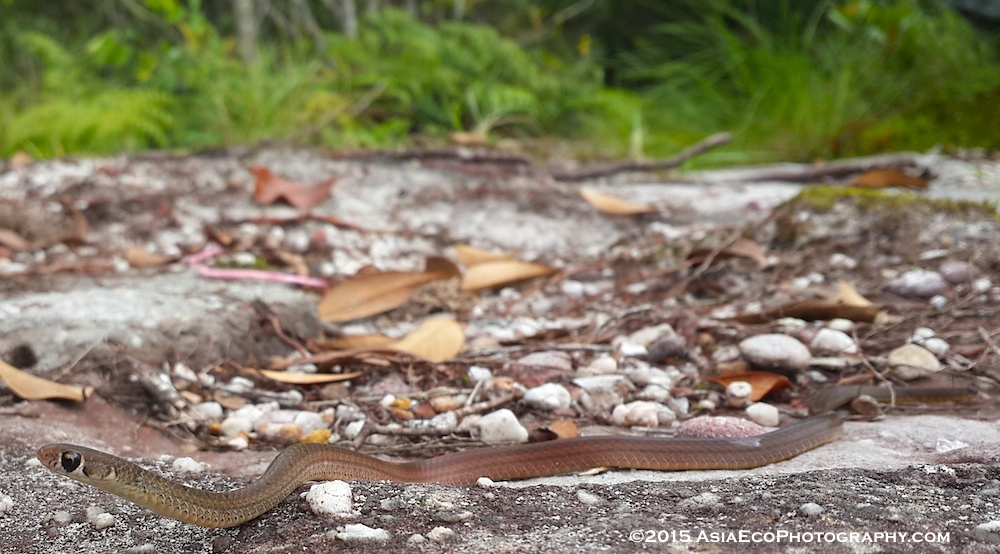 Orange-bellied snake, Gongylosoma balliodeirus found at 470 meters above sea level at lunchtime.