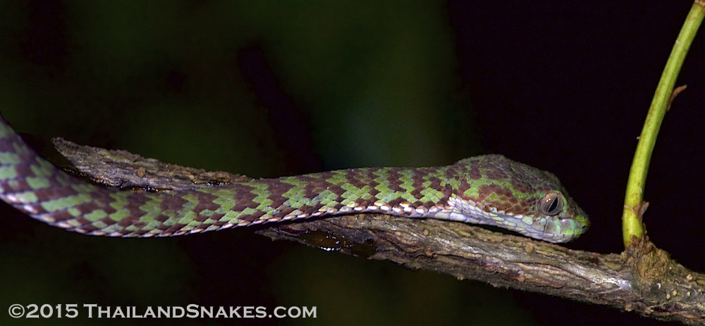 Trimeresurus venustus, called the beautiful pit viper, or the brown-spotted pit viper from Southern Thailand, Krabi province.