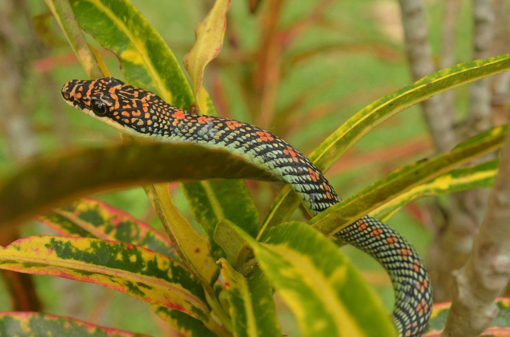 Paradise tree snake in bush in Thailand. ©Vern Lovic.