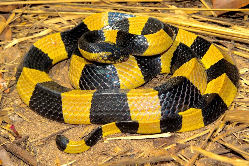 Banded krait - Bungarus fasciatus, venomous and deadly snake in Thailand and many other countries in Southeast Asia.